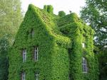 Green wall of self creeping vines