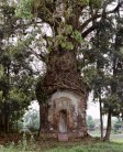 Sacred Bo Tree Ficus Religiosa in India